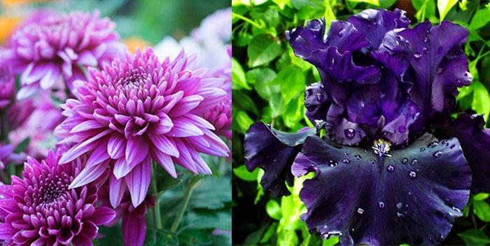 Chrysanthèmes et iris